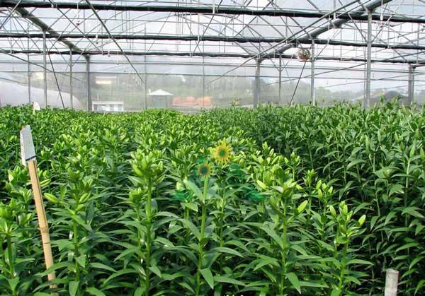 Chống nóng làm mát cho vườn hoa công nghiệp